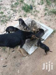 Baby Male Purebred | Dogs & Puppies for sale in Dar es Salaam, Kinondoni