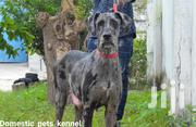 Adult Female Purebred Great Dane | Dogs & Puppies for sale in Dar es Salaam, Ilala