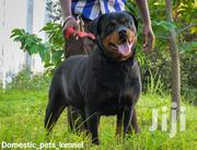 Adult Female Purebred Rottweiler | Dogs & Puppies for sale in Dar es Salaam, Ilala